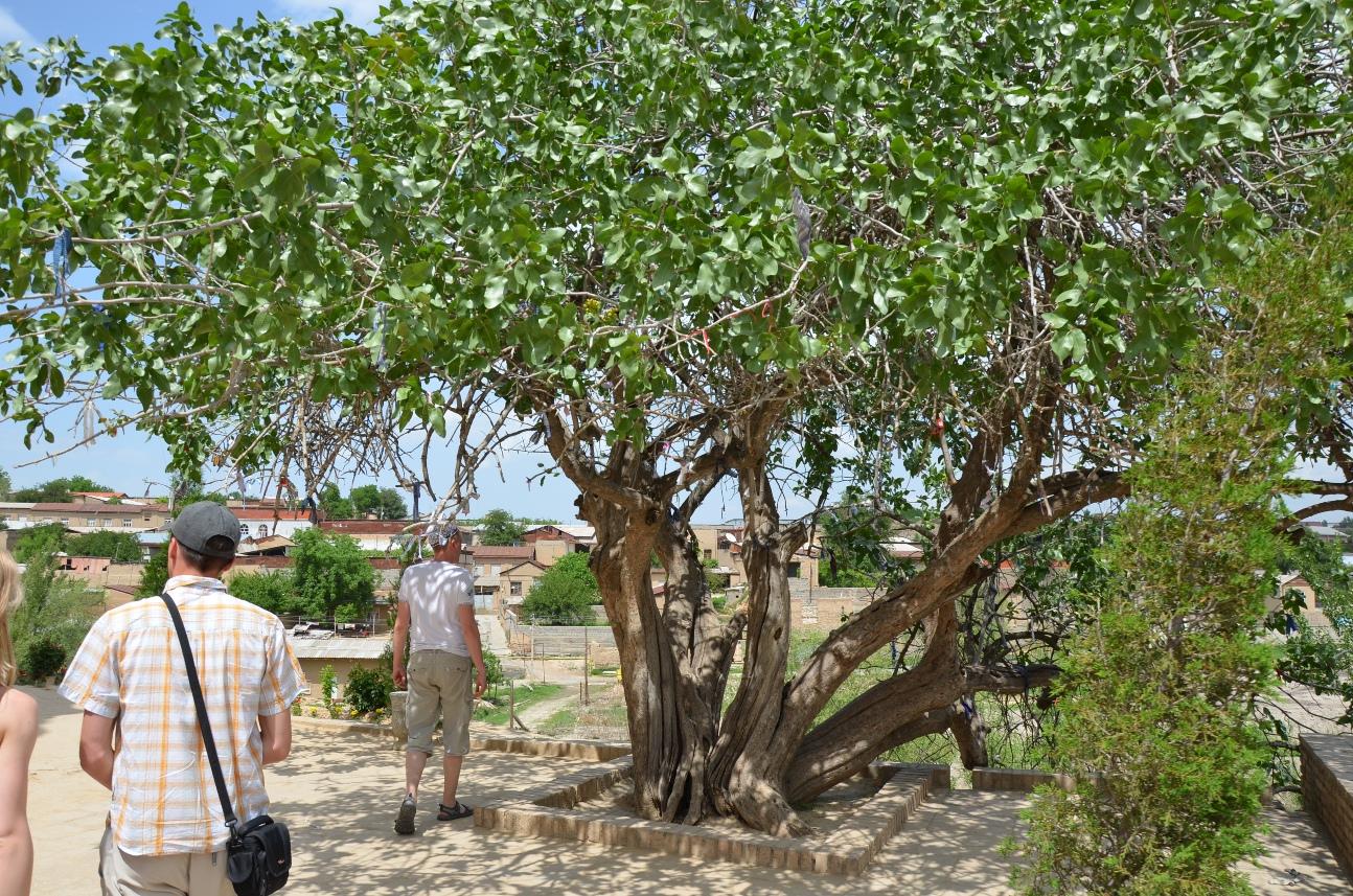 Фисташковое дерево в домашних условиях фото